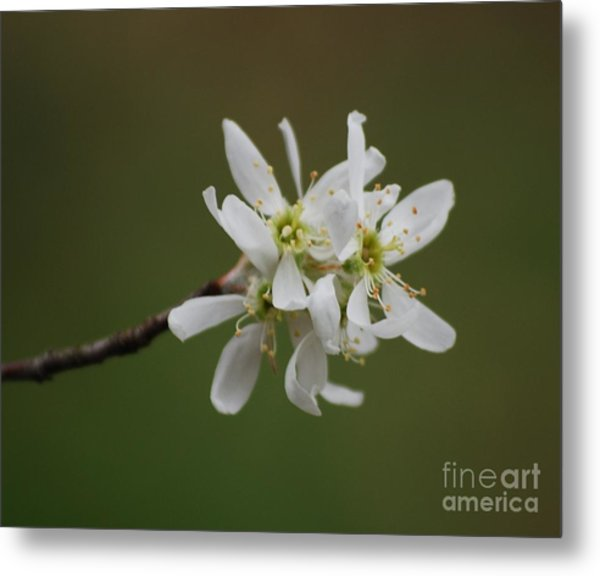 Serviceberry Bloom Metal Print