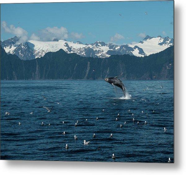Seward Whale Breach Metal Print