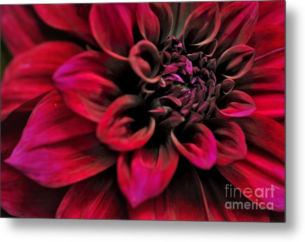 Shades Of Red - Dahlia Metal Print