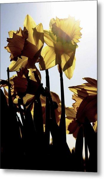 Shadowed Daffodils Metal Print by Karla DeCamp