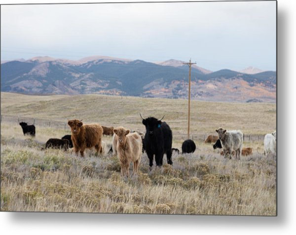 Shaggy-coated Cattle Near Jefferson Metal Print
