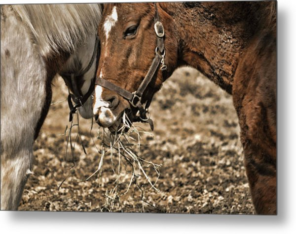 Sharing The Hay Metal Print by JAMART Photography