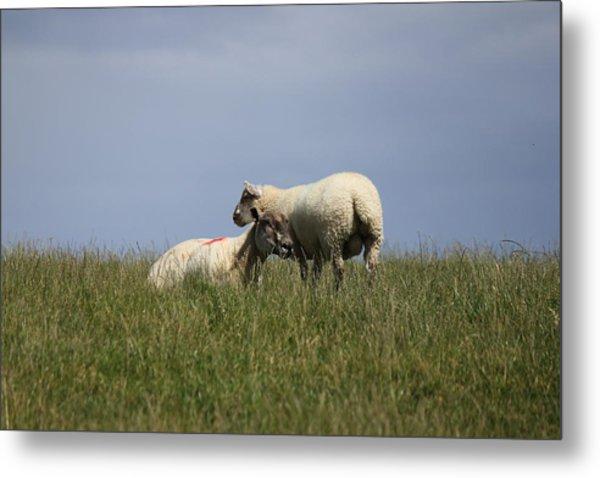 Sheep 4221 Metal Print