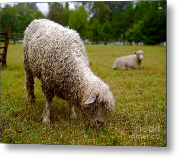 Sheep Begin A New Day Metal Print