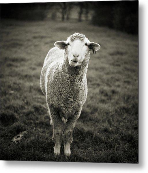 Sheep Chewing Cud Metal Print