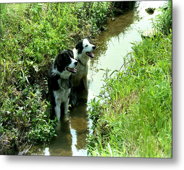 Sheep Dogs Metal Print by Barry Shaffer