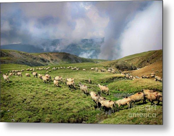 Sheep In Carphatian Mountains Metal Print