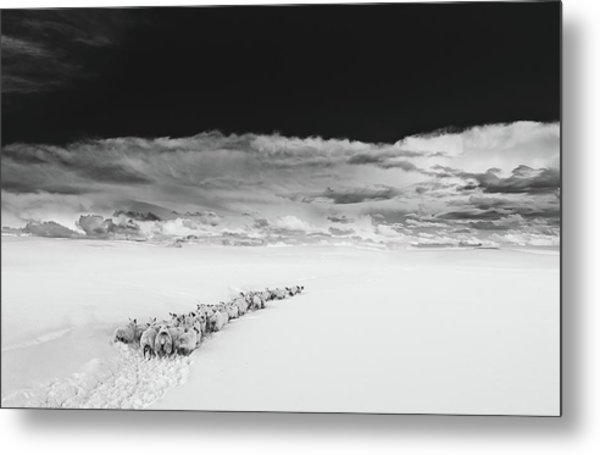 Sheep In Snow On A Beautiful Day In  Alnmouth, Northumberland. Metal Print