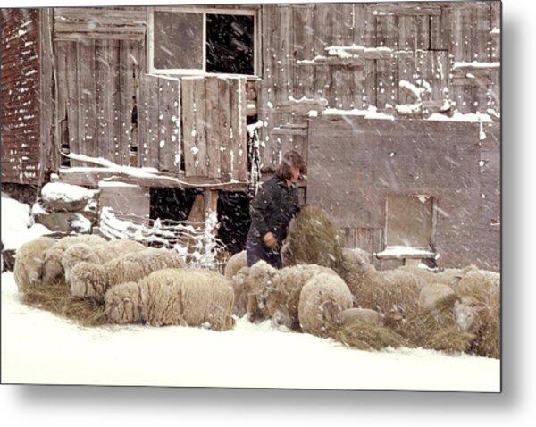 Sheep In Underhill Vermont. Metal Print