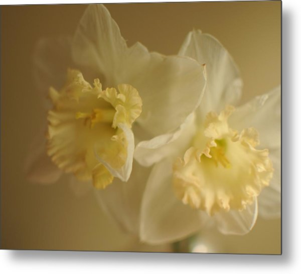 Sheer Daffodils Metal Print by Beverly Cazzell
