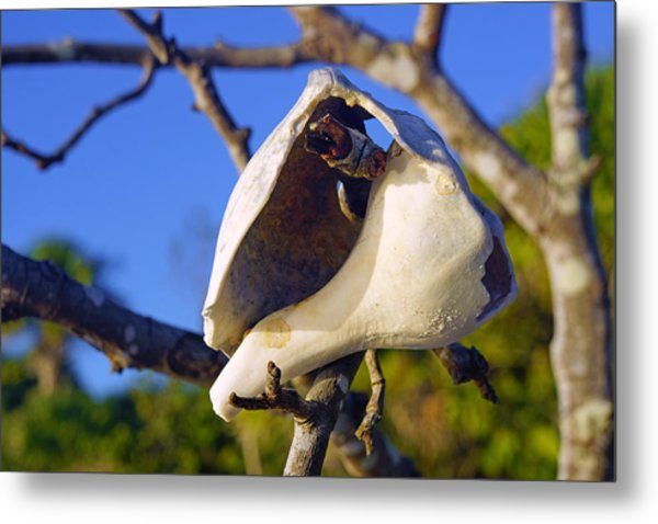 Shell On Brach Of Mangrove Tree At Barefoot Beach In Napes, Fl Metal Print