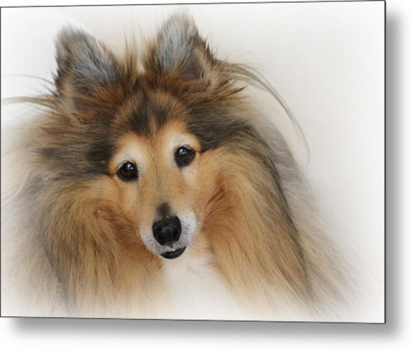 Sheltie Dog - A Sweet-natured Smart Pet Metal Print