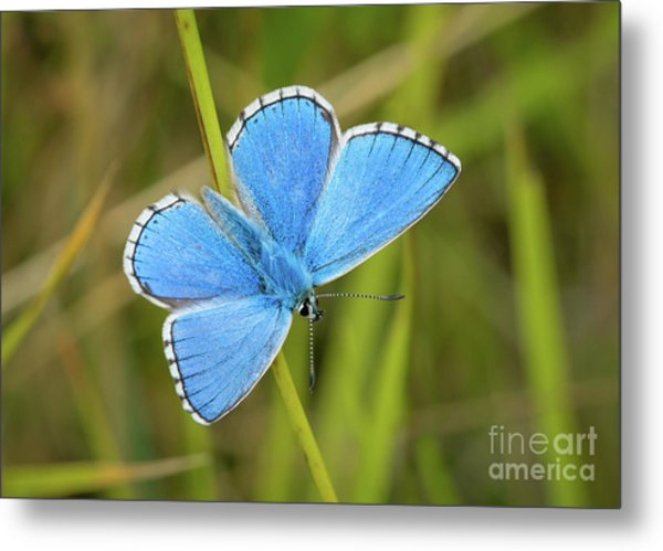 Shocking Blue Butterfly Metal Print