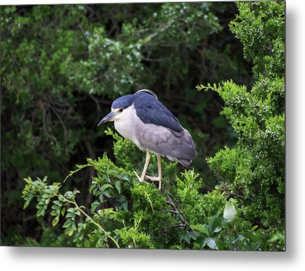 Shore Bird Roosting In A Tree Metal Print