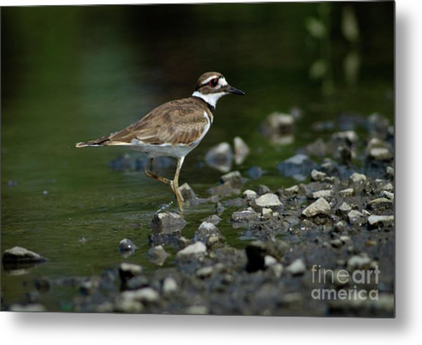 Killdeer  Metal Print