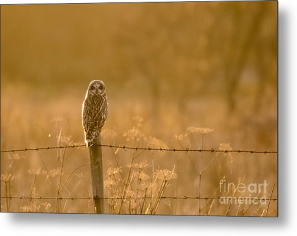Short-eared Owl At Sunset Metal Print