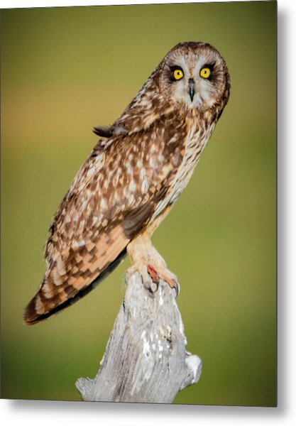 Short Eared Owl Metal Print