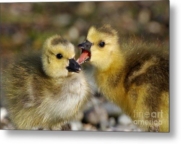 Sibling Love - Baby Canada Geese Metal Print