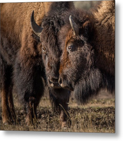 Siblings // Lamar Valley, Yellowstone National Park Metal Print
