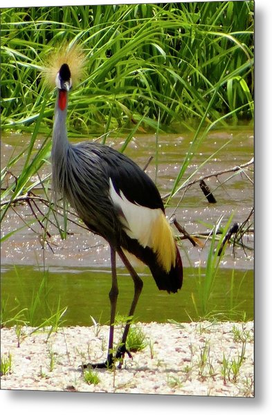 Side And Face Profile Of One Grey Crested Crane Metal Print
