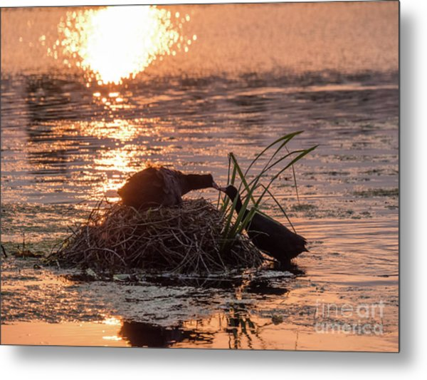 Silhouette Of Nesting Coots - Fulica Atra - At Sunset On Golden Po Metal Print
