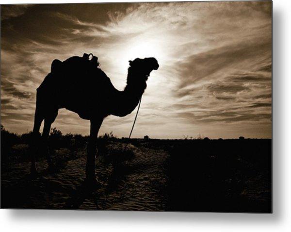 Silhouetted Camel, Sahara Desert, Douz Metal Print