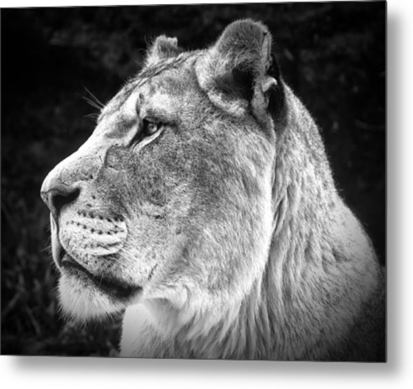 Silver Lioness  Metal Print