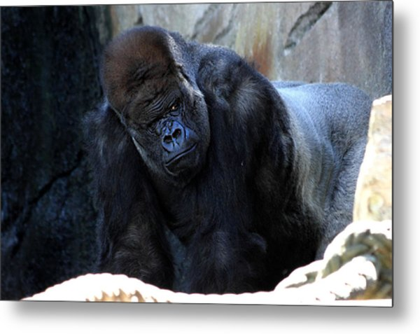Silverback Kibabu Rules His Kingdom Metal Print