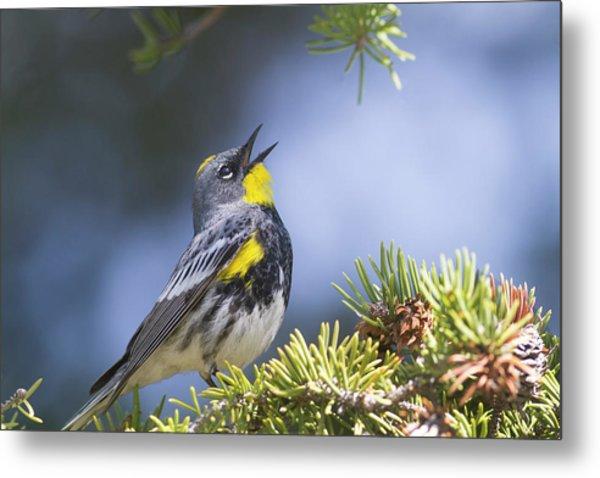 Singing Audubon's Warbler Metal Print
