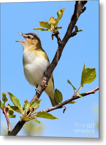 Singing Red-eyed Vireo Metal Print