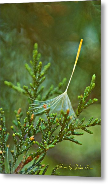 Single Delicate Dandelion Seed Caught In A Pine Tree Branch Metal Print