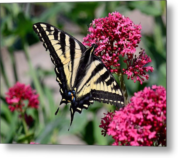 Sippin On Nectar - Swallowtail Metal Print