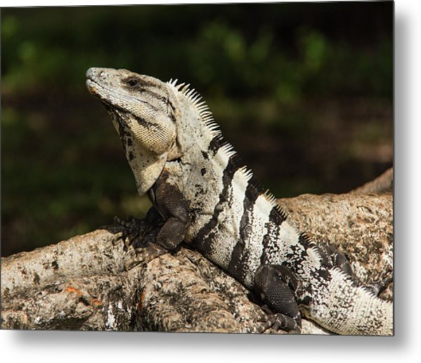 Sir Iguana Mexican Art By Kaylyn Franks Metal Print