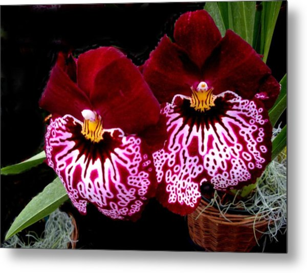 Sister Orchids Metal Print by Jeanette Oberholtzer