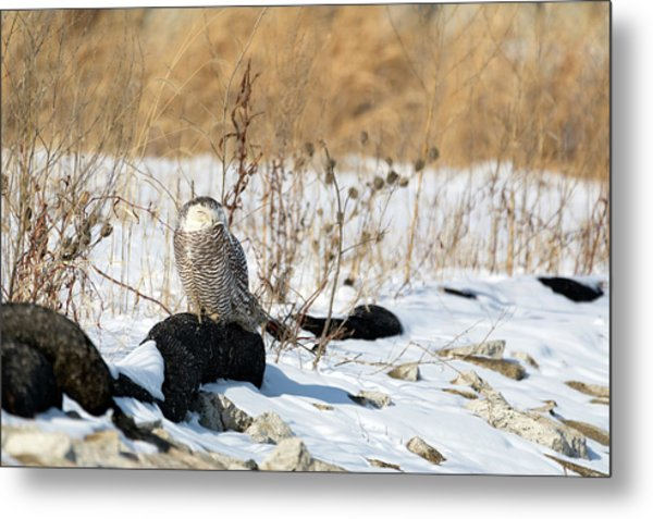 Sitting Snowy Metal Print