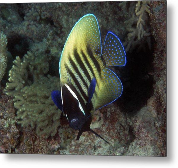 Six Banded Angelfish, Great Barrier Reef Metal Print