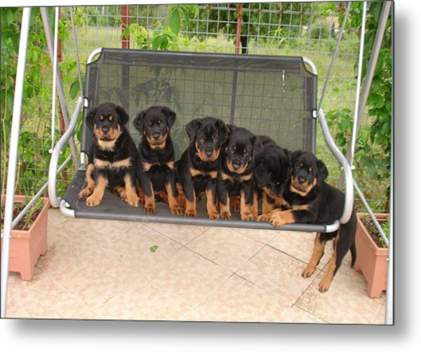Six Rottweiler Puppies Lined Up On A Swing Metal Print