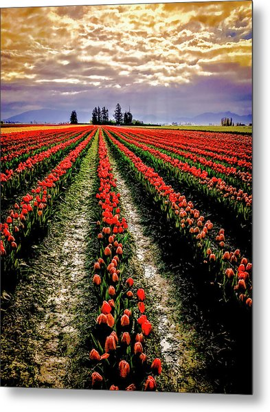 Skagit Tulips 2018 Metal Print