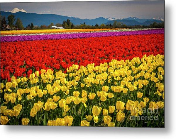 Skagit Valley Tulips  Metal Print
