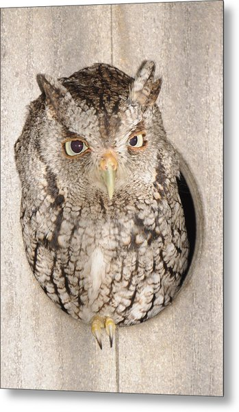 Skreech Owl Metal Print
