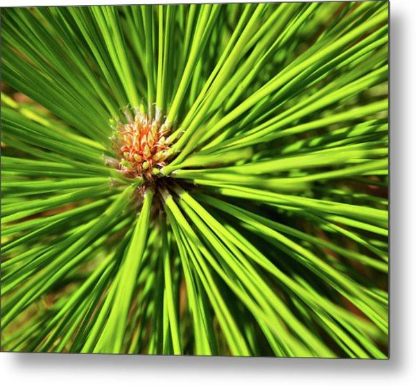 Slash Pine Needles Metal Print