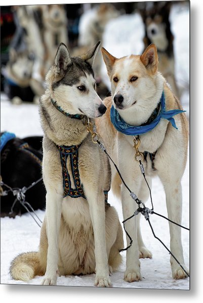 Metal Print featuring the photograph Sled Dogs by David Buhler