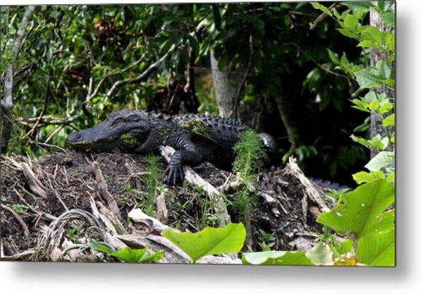 Sleeping Alligator Metal Print