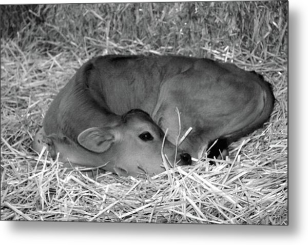 Sleeping Calf Metal Print