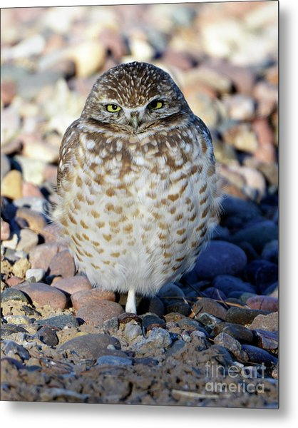 Sleepy Burrowing Owl Metal Print