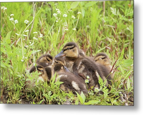 Sleepy Ducklings Metal Print