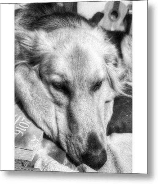 Sleepy Girl  #dogs #petstagram #gsd Metal Print