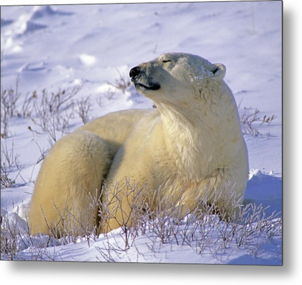 Sleepy Polar Bear Metal Print
