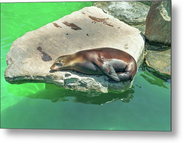 Sleepy Sea Lion Metal Print