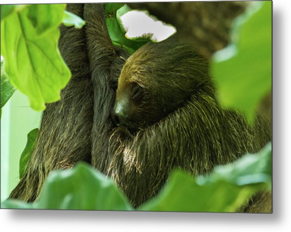 Sloth Sleeping Metal Print